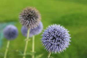 máriatövis gyógynövény a máj egészségéért