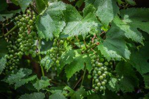 A hidegen sajtolt szőlőmagolaj előnyei és hatásai